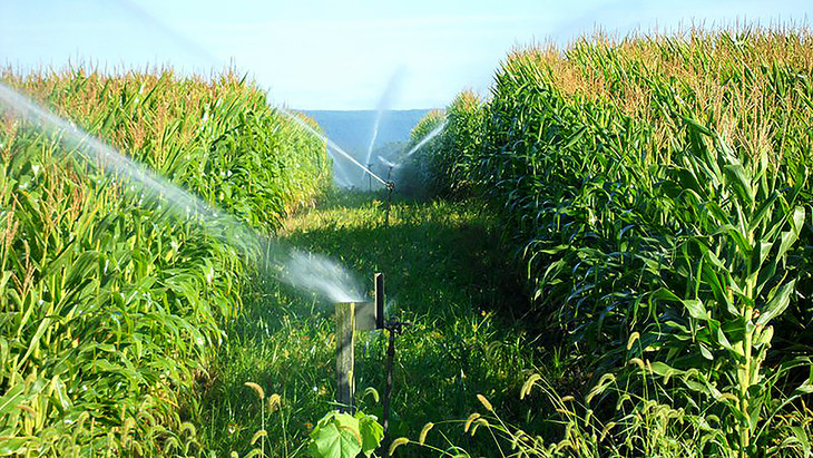 Living Filter Corn Irrigation